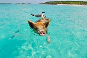 pig in the water swimming